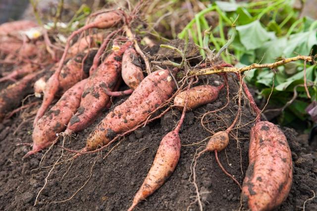 家庭菜園 さつまいもの栽培方法
